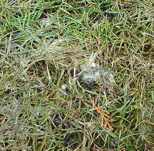 So kann der Rasen nach dem Winter aussehen - mit Schneeschimmel