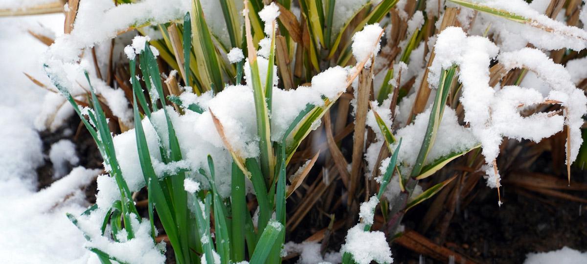 Schneeschimmel tritt meist im Frühjahr auf dem Rasen auf - so können Sie ihn bekämpfen